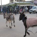 Donkeys in street